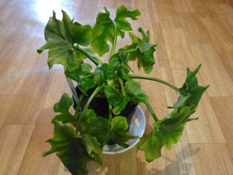 продам излишки растений Fylodendron_Atom_500