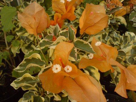 мои джунгли :) - Страница 2 Buga_DELTA_DAWN_500