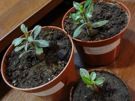 что я вырастила из семян - Страница 5 DSC00305_500