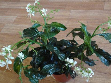 продам излишки растений DSC00340_500