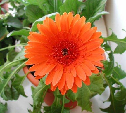 продам излишки растений 7139749_Gerbera_500