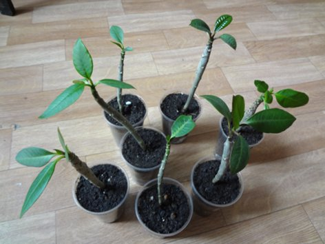 продам излишки растений Pliumeryia_cher__500