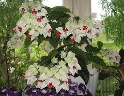 продам излишки растений Kler_tomsona