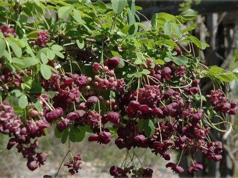 продам излишки растений Akebyia_piaternaia1_500