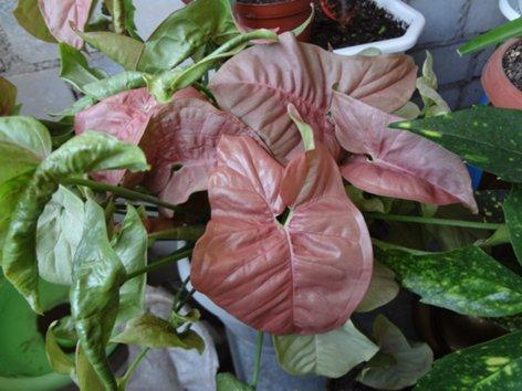 продам излишки растений DSC00475_500