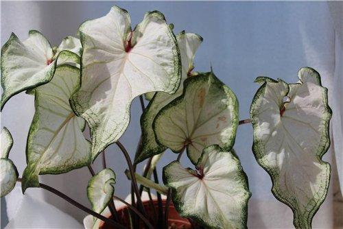 продам излишки растений 18dc69f48c88_nnn_500