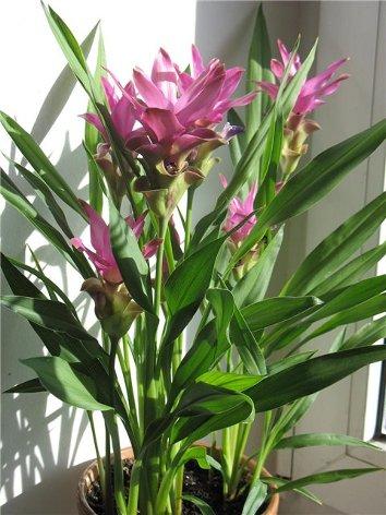 продам излишки растений Kurkuma_500