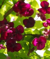 продам излишки растений Akebyia_piaternaia