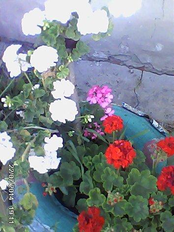 Дачные красоты - Страница 14 DSC_0000067_500