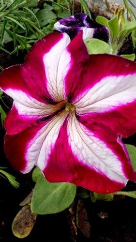 Які квіти прикрашають Ваші ґанки, підвіконня, балкони? DSC_0831_500