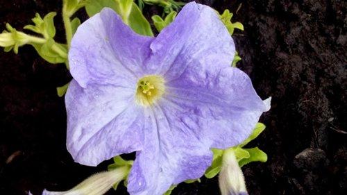 Які квіти прикрашають Ваші ґанки, підвіконня, балкони? DSC_0834_500