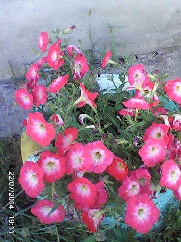 Дачные красоты - Страница 14 DSC_0000068_500