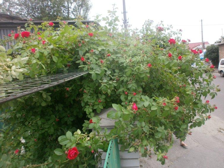 Продам кущі меліси та садженці плетючої троянди P5280226_800
