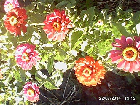 Дачные красоты - Страница 14 DSC_0000069_500