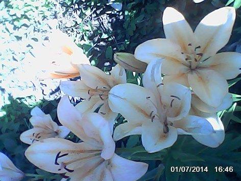 Дачные красоты - Страница 13 DSC_0000062_500