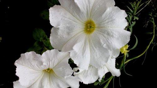 Які квіти прикрашають Ваші ґанки, підвіконня, балкони? DSC_0833_500