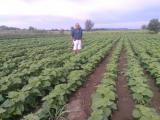 Prodajem sadnice: Paulovnije (Elongat), kupine (Loh Nes), maline (Crni Vilamet) 84CcN