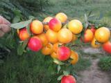 Kvalitetne sertifikovane vocne sadnice iz Rasadnika Antic  AAuJH