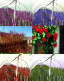 Ruze stablasice, lozni kalemovi i voćne sadnice BAGde