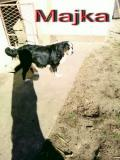 Na prodaju stenci bernskog planinskog psa, dva legla BAmcv
