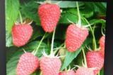 Prodajem sadnice: Paulovnije (Elongat), kupine (Loh Nes), maline (Crni Vilamet) NBiVs