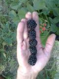 Prodajem sadnice: Paulovnije (Elongat), kupine (Loh Nes), maline (Crni Vilamet) SM8OE