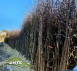 Sadnice voca za iduću jesen - HIT CENA TTThZ