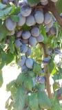 Kvalitetne sertifikovane vocne sadnice iz Rasadnika Antic  UUan6