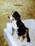Na prodaju stenci bernskog planinskog psa, dva legla HCUuD