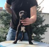 Cane Corso, štenci šampionskog porekla KN3ON