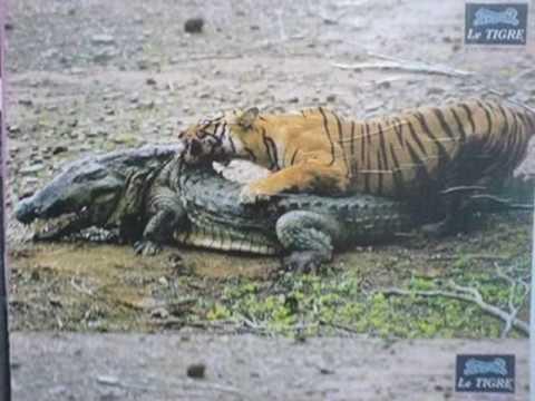 Jaguar venezuelano VS Leopardo macho monstro - Página 2 0