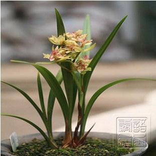 LAN VÀ THƠ ĐVTC - Page 7 Plants-bonsai-pink-shirt-cymbidium-four-seasons-orchid-flower-long-orchid-cymbidium-ensifolium-5-ball