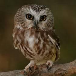 Ino, la lechuza de Lottie Owl1
