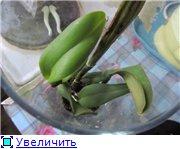 Странности и интересности наших орхидей D693910e8e2et