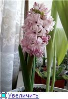 Выгонка луковичных. Тюльпаны, крокусы и др. - Страница 3 4a76743e295ft