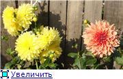 Георгины в цвету 6b0425bf0f80t