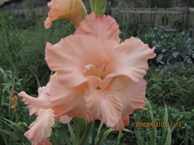 Мои садовые - Страница 2 E8f7a9b3f0c0