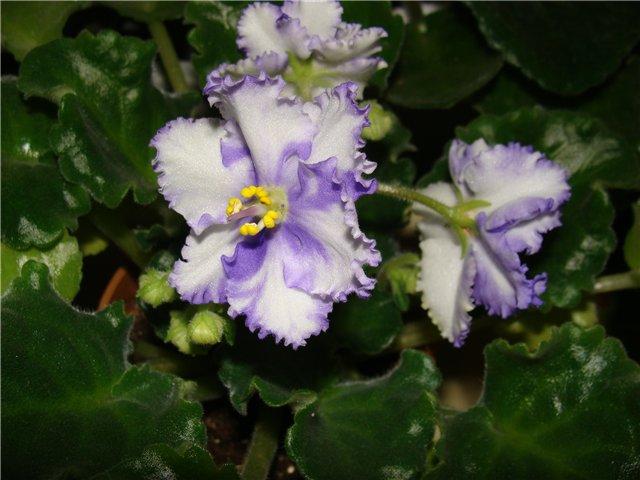 Весеннее  цветение (Хваст от Веры) - Страница 8 40c1463e51bb