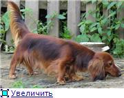 """Длинношерстные миниатюрные (кроличьи) таксы питомник """"С Дивных гор"""" Ba654de99b11t"""