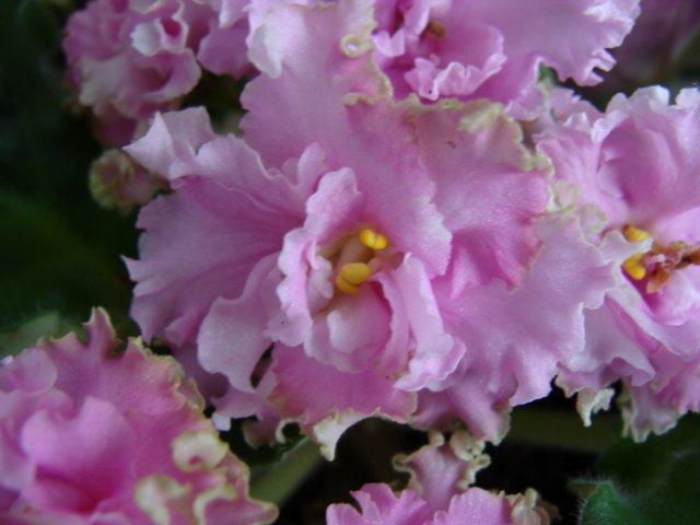 Мои цветочки - Страница 21 97504320b5f7