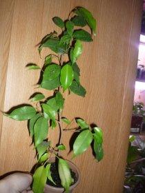 декоротивно-лиственные и красивоцветущие растения - Страница 3 Cf052a454687
