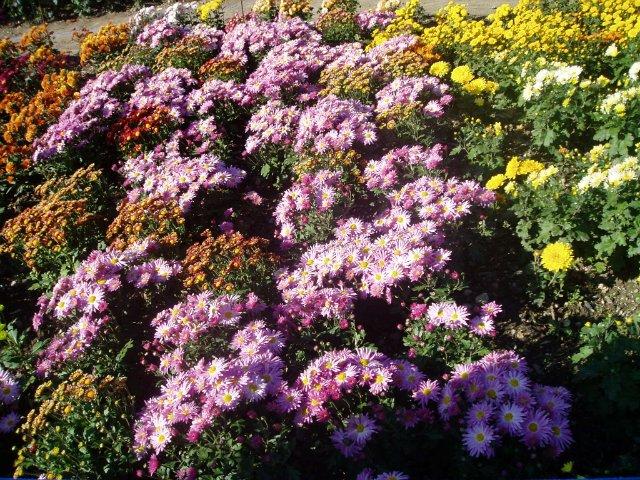 Парад хризантем в Никитском ботаническом саду. Крым  - Страница 2 8c4fbcff3cbc