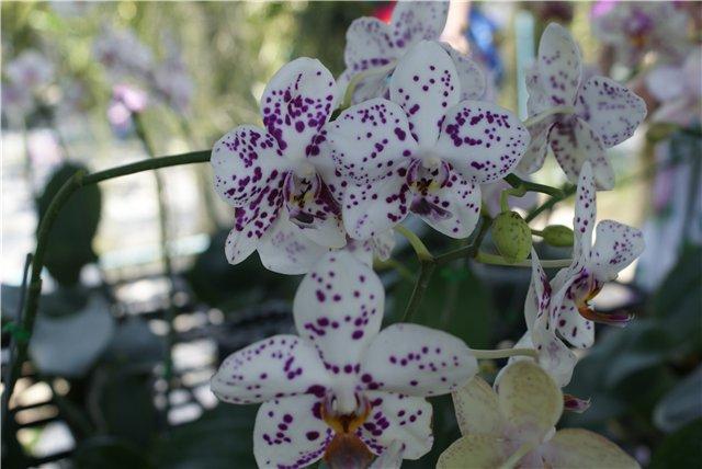 Орхидеи и прочая красота на о. Пхукет - Страница 19 Ee9dba87d627