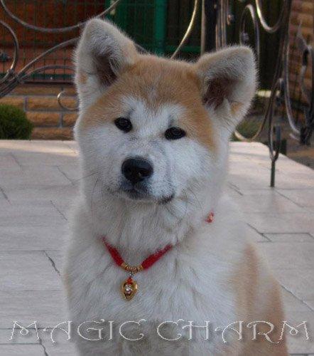 Magic Charm - ошейники, обереги, украшения и аксессуары для собак 21b09367e70a