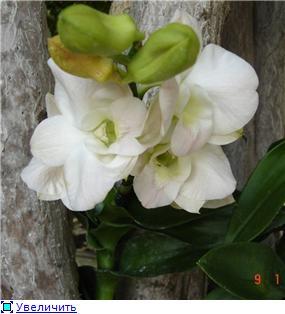 Орхидеи и прочая красота на о. Пхукет 90aad60fa52at