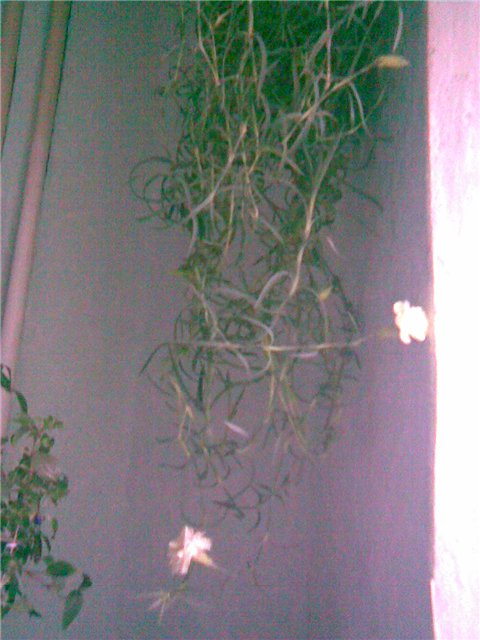 гвоздика Шабо-из семена 3442292912e5