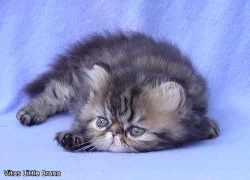 VITAS LITTLE - питомник персидских и экзотических кошек - Страница 4 D59d79b8def9