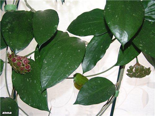 Hoya purpureo-fusco A24402687c9e