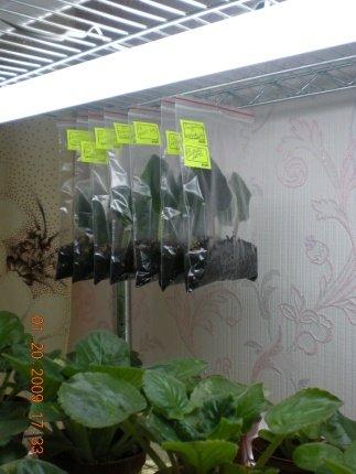 Урок 1. Вегетативное размножение сенполии, листовым черенком. - Страница 3 B7b766ccea8a
