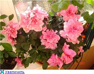 Азалия - капризная красотка Aff8614a72fft